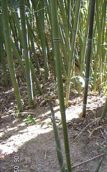 Bisset Bambus Aus Blättern Bereiten Chinesen Einen Tee Das