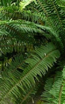 Farne als zimmerpflanzen mit einem zerst uber einnebeln - Hohe zimmerpflanzen ...