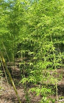 Goldrohrbambus - eignet er sich im Garten als Hecke oder Sichtschutz ...