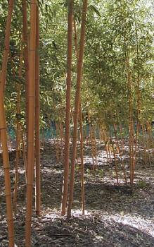 gro er holz bambus in china werden sie gegart als gem se. Black Bedroom Furniture Sets. Home Design Ideas
