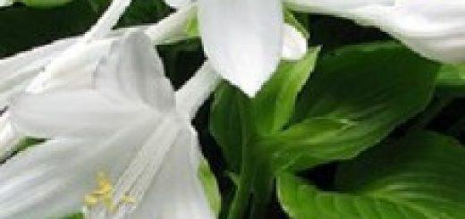 Berühmt Lilien Funkie - ersten Jahre die Lilien jedoch nicht umpflanzen &US_94