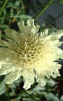 riesenskabiose staude l sst sich im april durch teilung vegetativ vermehren das garten. Black Bedroom Furniture Sets. Home Design Ideas