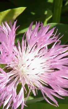 silber flockenblume l sst sich nach der bl te zur ck schneiden und durch teilung vegetativ. Black Bedroom Furniture Sets. Home Design Ideas