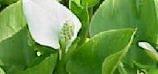 wasserlinsen das garten lexikon der pflanzenfamilien von floristik24. Black Bedroom Furniture Sets. Home Design Ideas