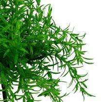 Asparagusbusch Grün 25cm
