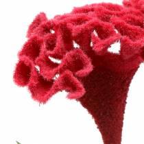 Celosia cristata Hahnenkamm Rot 72cm