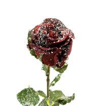 Deko Rose rot beschneit Ø6cm 6St
