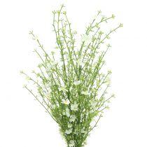 Ginsterbusch Weiß 60cm