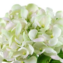 Hortensie Weiß-Grün 60cm