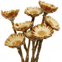 Protea Compacta Rosette Natur Trockenblume Zuckerbusch 8St