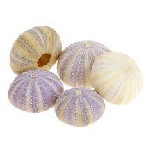 Seeigel Weiß-Violett 20St
