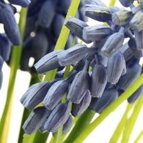 Traubenhyazinthen 28cm - 30cm Blau 5St