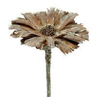 Protea Rosette 8-9cm weiß gewaschen 25St