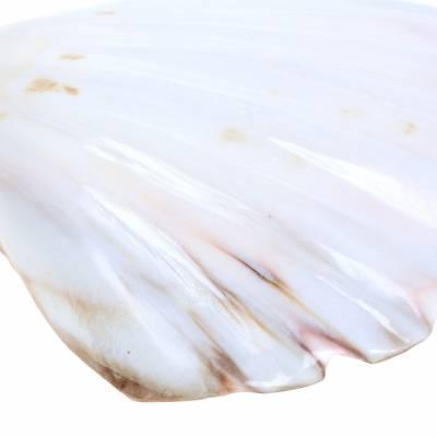 Muscheldeko Jakobsmuscheln Poliert 12-13cm 4St
