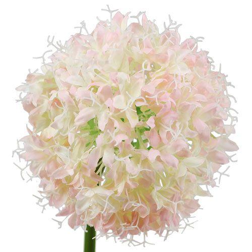 Allium Creme-Rosa Ø15cm L70cm