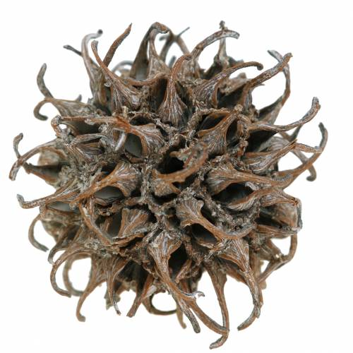 Amberbaum Zapfen Natur weiß gewaschen 250g