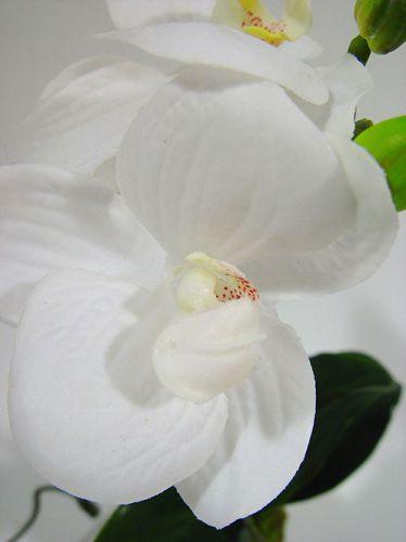 orchidee wei 24cm mit moosballen preiswert online kaufen. Black Bedroom Furniture Sets. Home Design Ideas