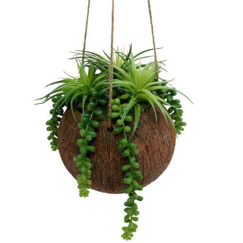 Hängepflanzen Sukkulenten im Topf L60cm Ø16cm