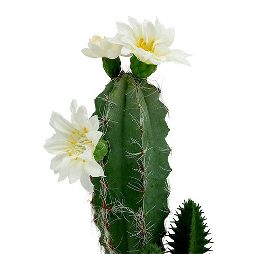 kaktus im topf mit bl te 21cm wei preiswert online kaufen. Black Bedroom Furniture Sets. Home Design Ideas