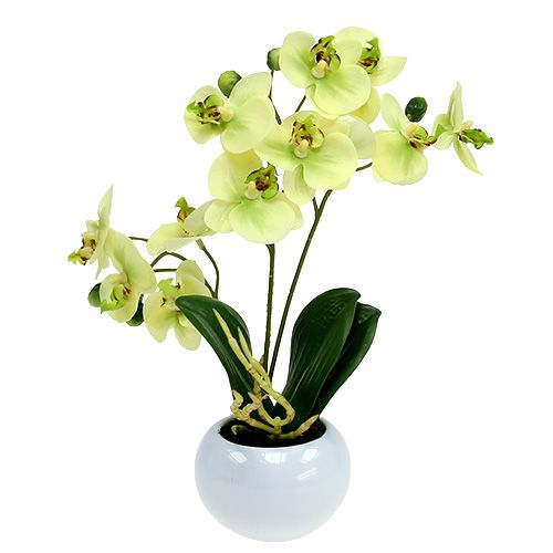 Orchideen im topf grn h30cm preiswert online kaufen orchideen im topf grn h30cm altavistaventures Choice Image