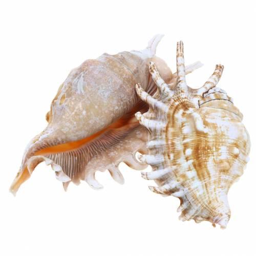 Meeresschnecke Tausendfüßlerschnecke Natur 11-15cm 10St