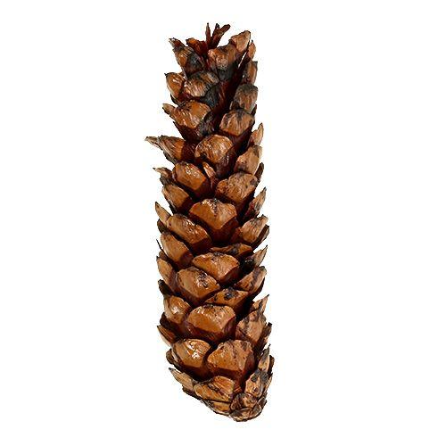 Strobus Zapfen 15 - 20cm lackiert 100St