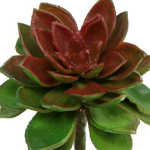Sukkulenten Steinrose 6cm Grün 6St