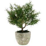 Rosmarinbaum im Topf 23cm